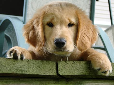 can a golden retriever be a guard canine terminology