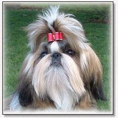 shih tzu show bows leaves in orange and glitter loop bow by angelzbowz 5 99 all about shih
