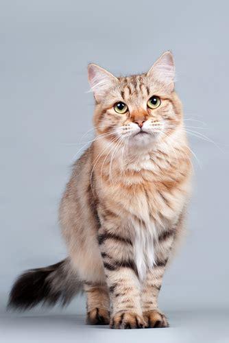 cat breed cat breeds