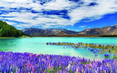 flower wallpaper nz lupinus on lake tekapo in new zealand full hd wallpaper