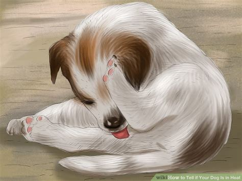 in heat bleeding 4 ways to tell if your is in heat wikihow