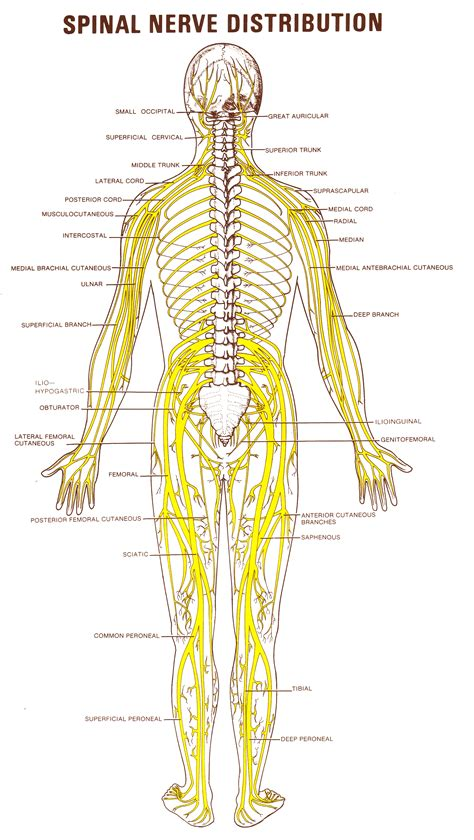 diagram of spine and nerves faq dr borah s chiroblog