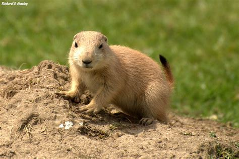 prairie dogs why jump yipping prairie dogs are like yawning humans phenomena not exactly