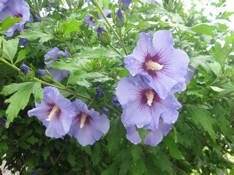 hibiscus syriacus blue bird 3363 blue of hibiscus syriacus 15 seeds