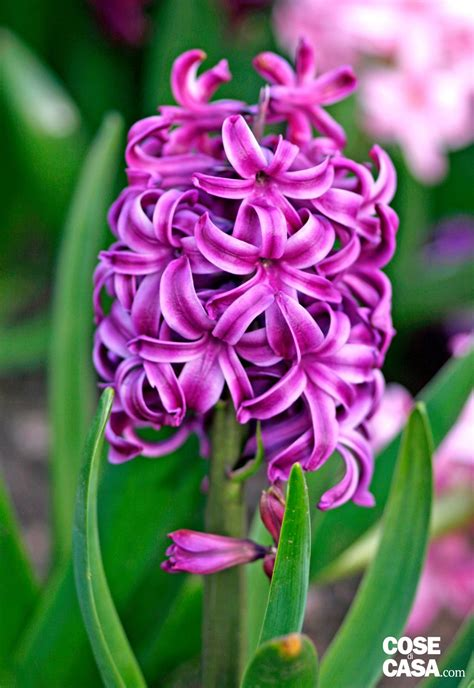 giacinti in vaso hyacintus orientalis giacinto cose di casa