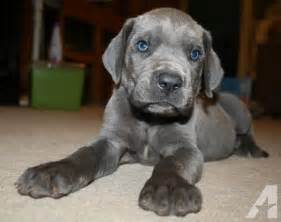Akc blue great dane puppies for sale in blanchard oklahoma classified