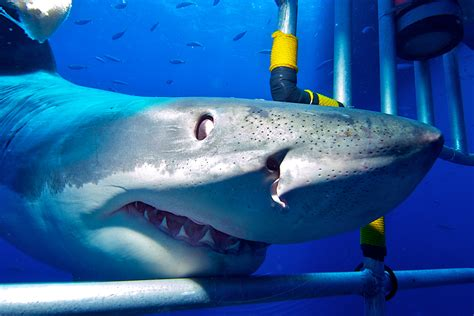 cage dive with sharks shark cage dive sea turtle dive charters diving scuba