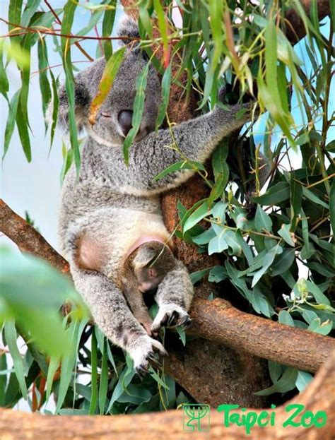 female koala pouch three koala joeys for taipei zoo zooborns