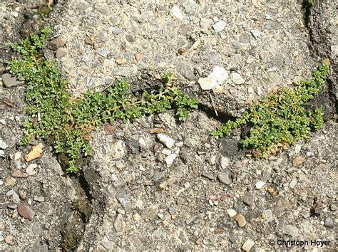 Unkraut Entfernen Pflaster by Fugen Reinigen Unkraut Pflanzen F 252 R Nassen Boden