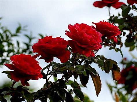 tipos de rosales cuidar de tus plantas es facilisimo cuidar los rosales cuidar de tus plantas es facilisimo com