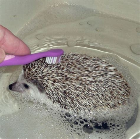 hedgehog bathtub hedgehogs taking bath