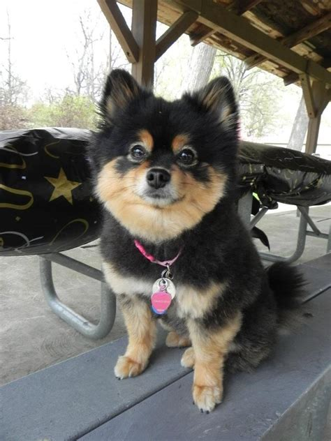 pomeranian grooming needs 25 best ideas about pomeranian haircut on haircuts grooming
