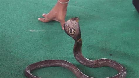 film ular cobra thailand cobra in thailand stock footage video 16060075 shutterstock