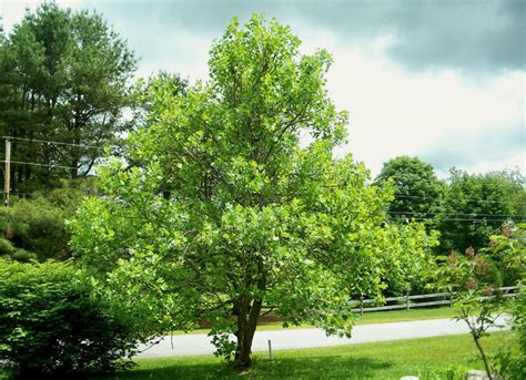 good trees for small backyards best trees to plant 10 options for the backyard bob vila