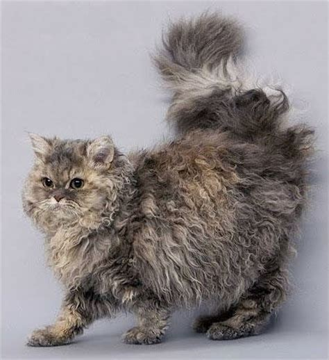 care selkirk selkirk rex history personality appearance health and