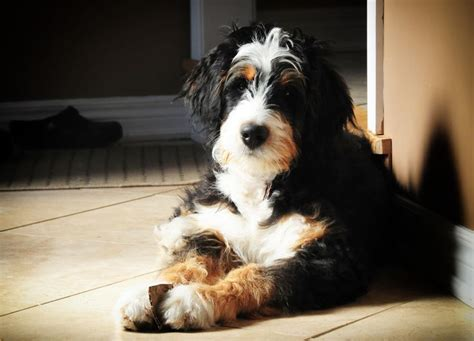 bernese mountain and poodle bernedoodle mix breed designer mixed breed dogs