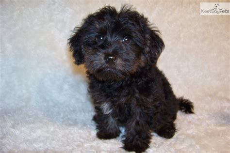 baby yorkie poos yorkiepoo yorkie poo puppy for sale near st louis missouri 09ff0469 6661