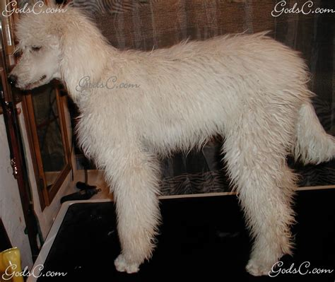 standard poodle puppy cut malti tzu haircuts hairstylegalleries