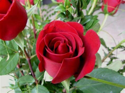 klasifikasi bunga mawar terlengkap  disini contoh majas