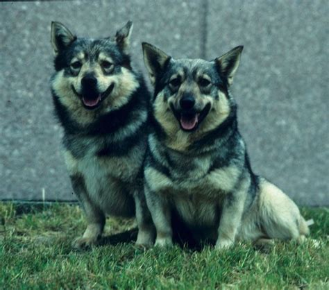swedish breeds pin by darren driscoll on swedish vallhund