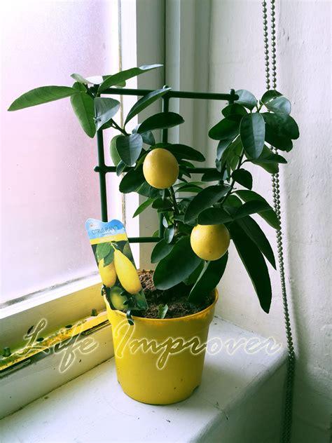 indoor fruit plants 1 trellis scent lemon citrus fruit indoor tree in pot
