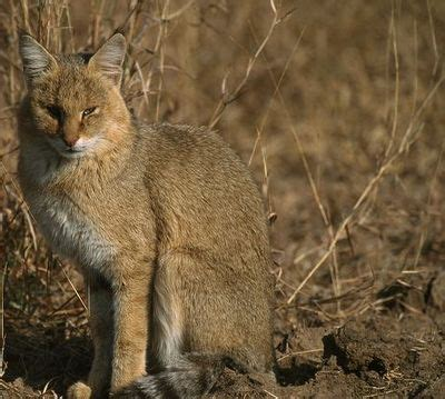 Inidia Cat 24 35 best katachtigen jungle cat moeraskat images on