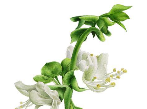 co fiore giardinaggio basilico coltivazione e uso erboristico