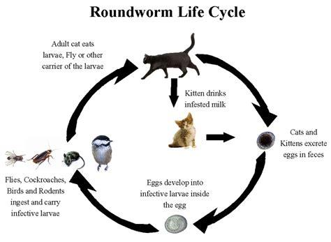 cycle of a cat diagram cat cycle diagram www pixshark images