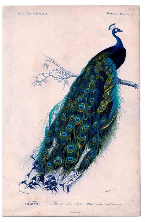 printable retro art vintage clip art natural history stunning peacock