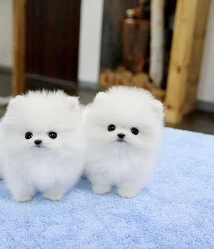 tiny white pomeranian 40 pomeranian puppy pictures and photos