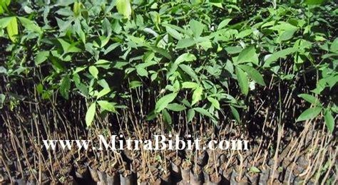 Bibit Cendana Bersertifikat cv mitra bibit cara menanam dan merawat tanaman karet