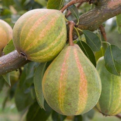 ba hum bug trees pear tree humbug pear trees ect 과일 음식 영양