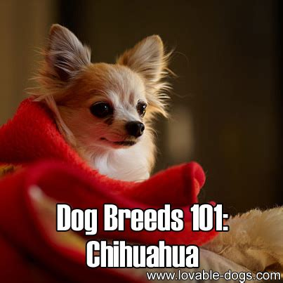 dogs 101 puppies lovable dogs breeds 101 chihuahua lovable dogs