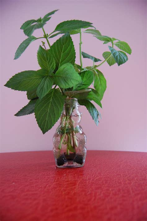 growing herbs  water information  herbs grown  water