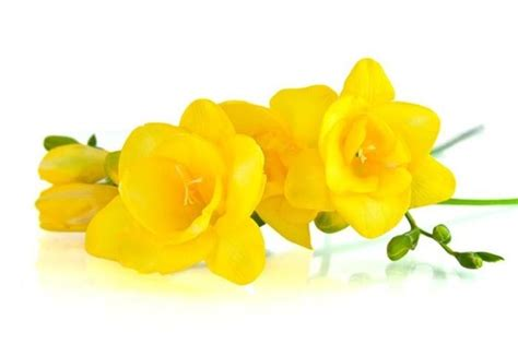 fresie fiori coltivare la fresia fiori in giardino consigli per la