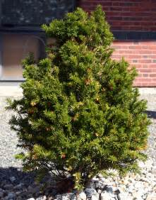 medicinal plants english yew