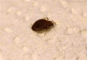 bed bugs what s that bug