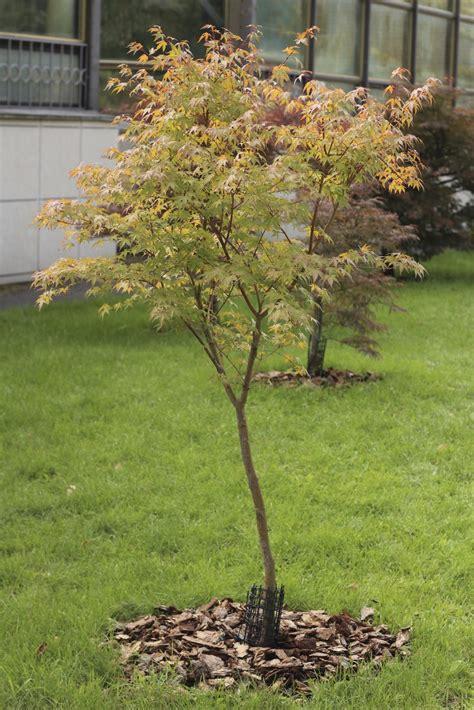maple tree lifespan japanese maple tree facts lifespan of japanese maple trees