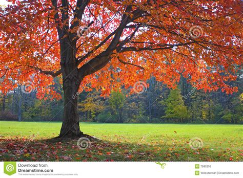 autumn oak tree stock image image of color peaceful