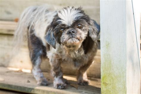 special needs dogs adopting dogs with special needs crossroads shih tzu rescue