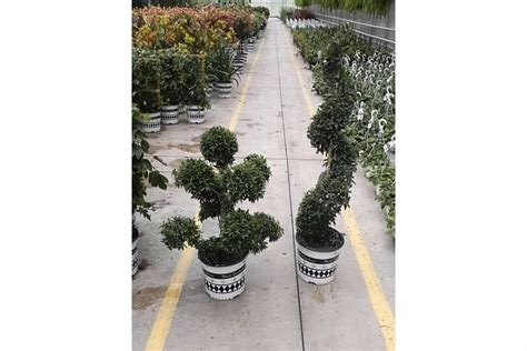 eugenia topiary care the 25 best eugenia topiary ideas on topiary