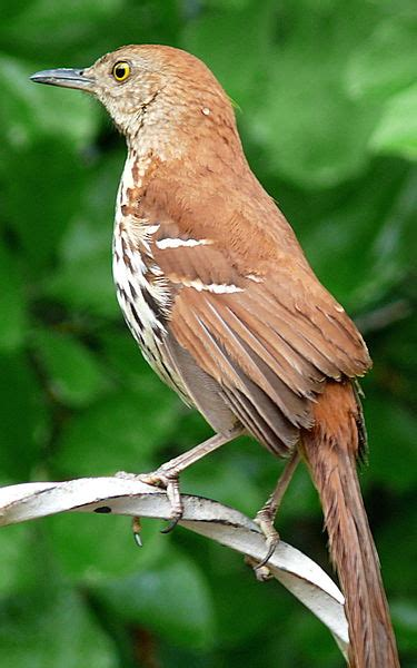 georgia state bird brown thrasher