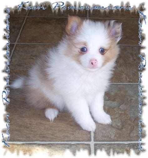 blue parti pomeranian this is a blue eyed orange merle parti pomeranian she is a past puppy an