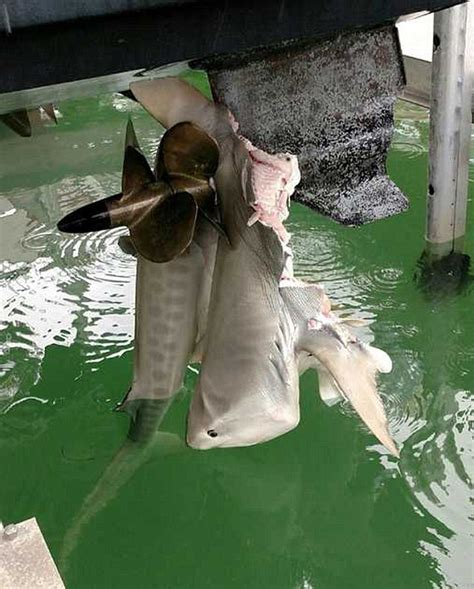 boat vs propeller fisherman in florida discovers a shark impaled on boat s