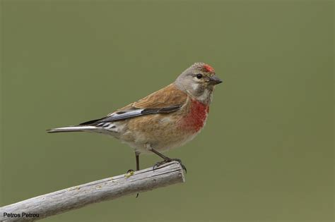 petros nature photography birds 187 32 finches σπίζες