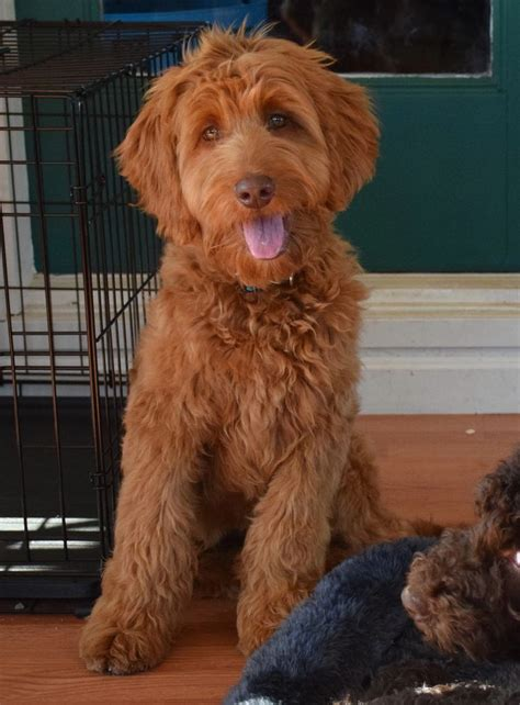 mini bordoodle puppies for sale best 25 labradoodle puppies for sale ideas on goldendoodles for sale