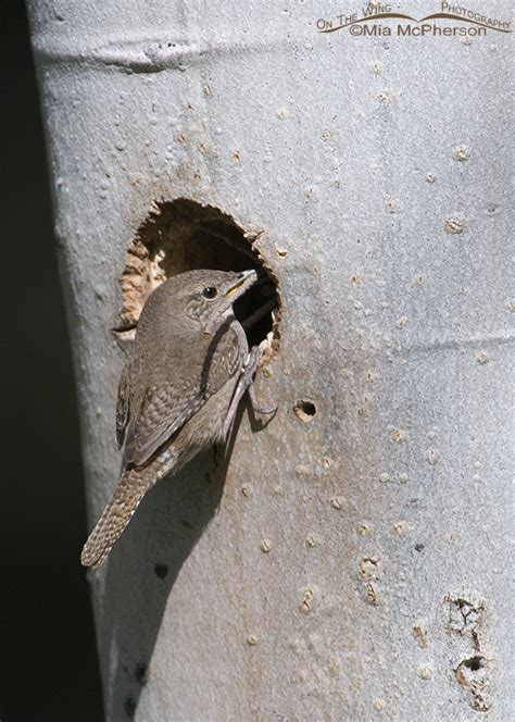 house wrens nesting behavior mia mcpherson s on the