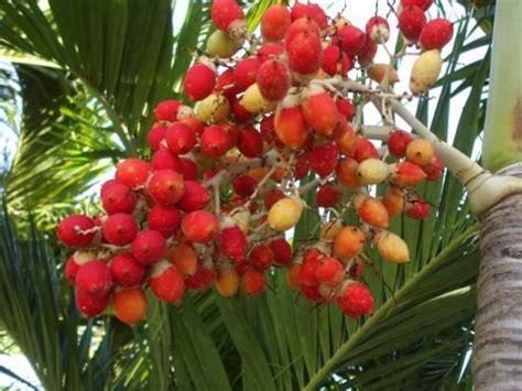 fruit d un palmier fruit d une sort de palmier photo de playa santa lucia