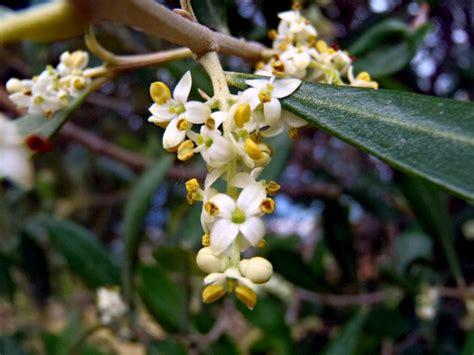 fiore olivo olive fiore bachitalia it