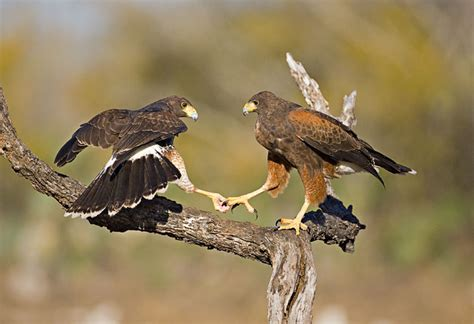 harris s hawk parabuteo unicinctus